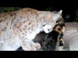 Домашняя кошка Дуся, и её подружка Рысь Линда =)